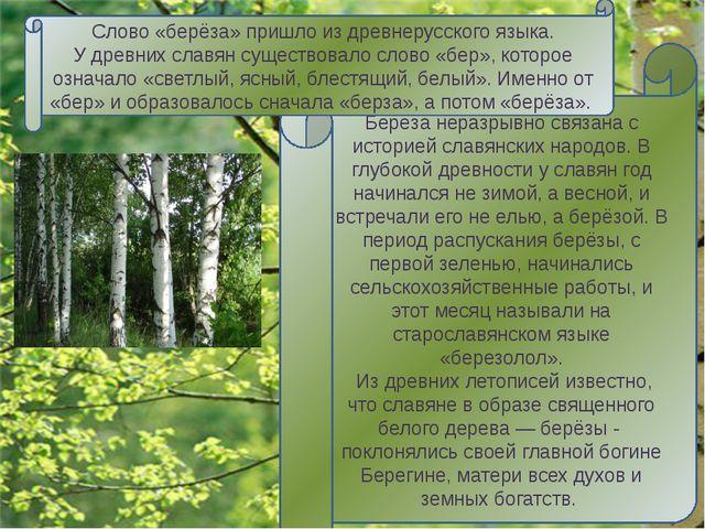 Берёза - единственное в мире дерево с белой корой. Объясняется это «чудо» тем...