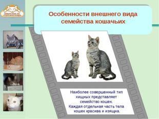Особенности внешнего вида семейства кошачьих Наиболее совершенный тип хищных