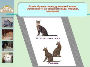 Разнообразие пород домашней кошки. Особенности их внешнего вида, повадок, по