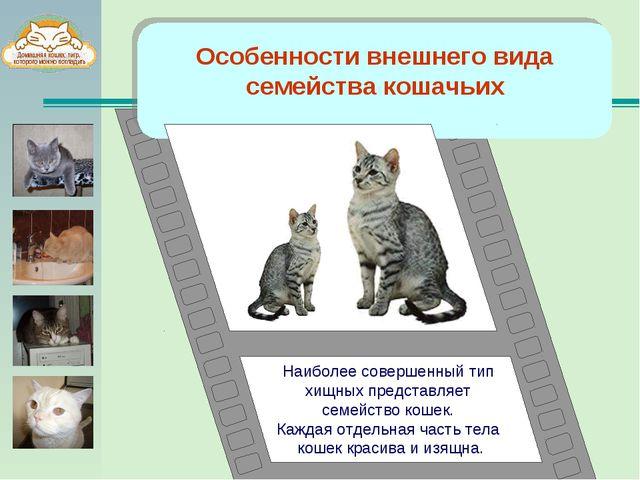 Особенности внешнего вида семейства кошачьих Наиболее совершенный тип хищных...