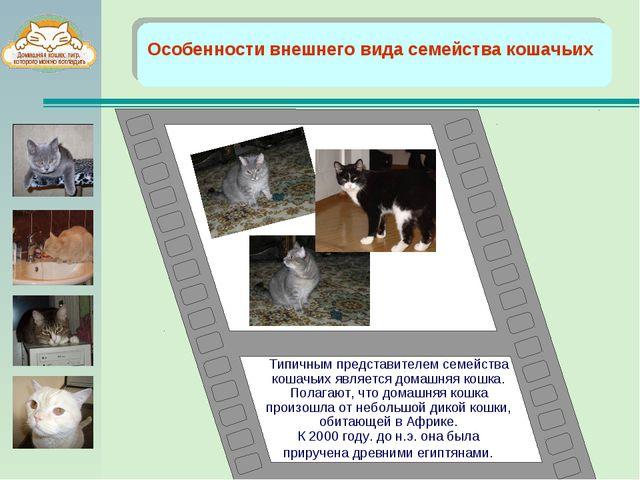 Особенности внешнего вида семейства кошачьих Типичным представителем семейст...