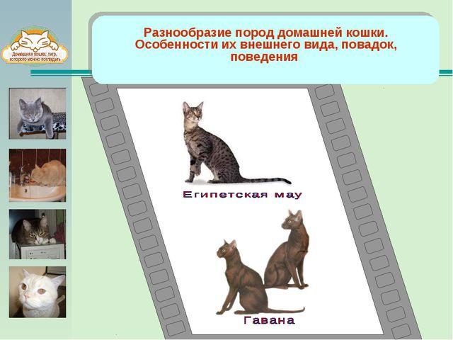 Разнообразие пород домашней кошки. Особенности их внешнего вида, повадок, по...