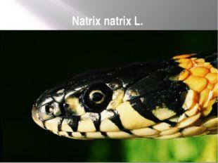 Natrix natrix L.