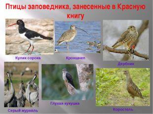 Птицы заповедника, занесенные в Красную книгу Кроншнеп Кулик сорока Дербник С