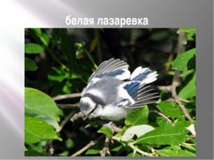 белая лазаревка