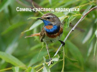 Самец-красавец варакушка
