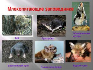 Млекопитающие заповедника  Еж Обыкновенная кутора Бурозубка Европейский крот