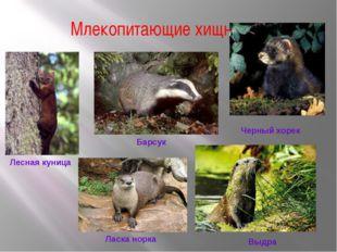 Млекопитающие хищники Лесная куница Барсук Черный хорек Ласка норка Выдра