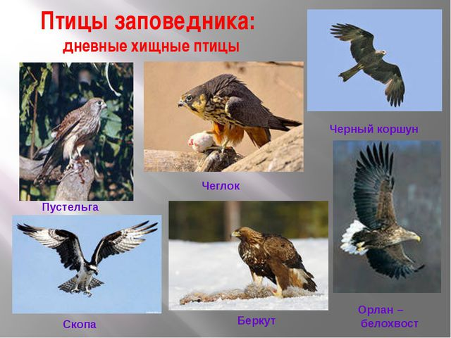 Птицы заповедника: дневные хищные птицы Пустельга Чеглок Черный коршун Орлан...
