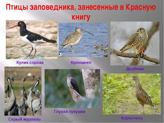 Птицы заповедника, занесенные в Красную книгу Кроншнеп Кулик сорока Дербник С...