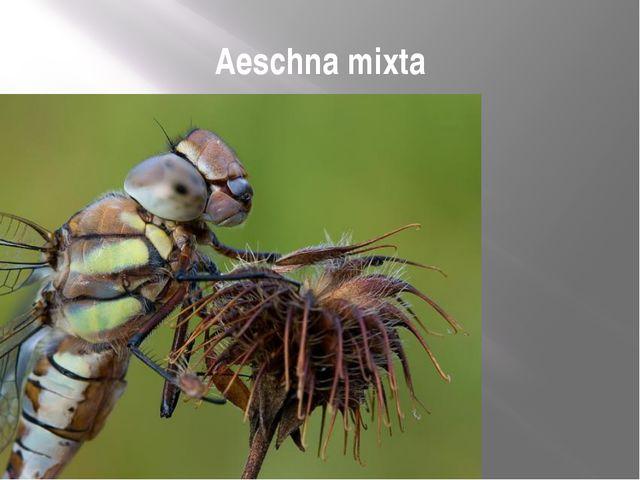 Aeschna mixta
