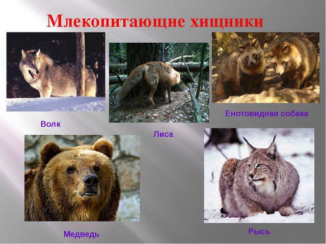 Млекопитающие хищники Волк Лиса Енотовидная собака Медведь Рысь