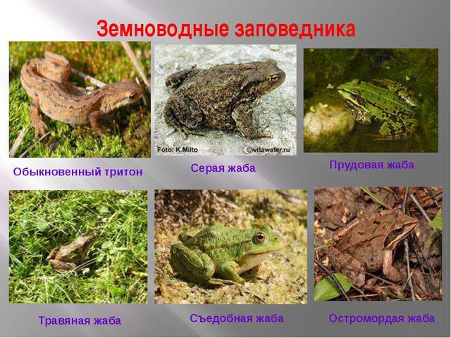 Земноводные заповедника Обыкновенный тритон Серая жаба Прудовая жаба Травяная...