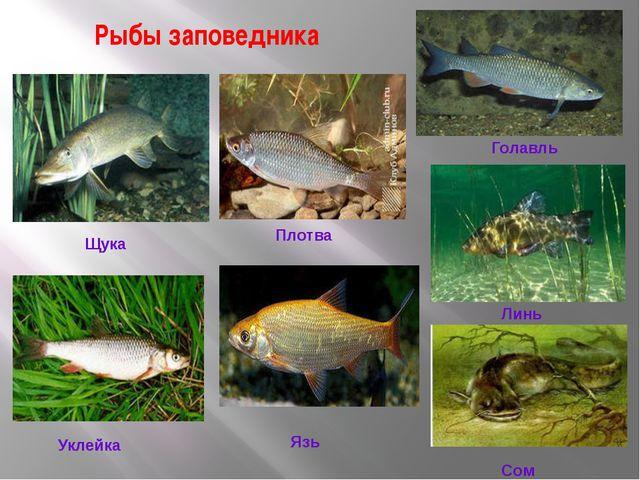 Рыбы заповедника Щука Плотва Голавль Линь Уклейка Язь Сом