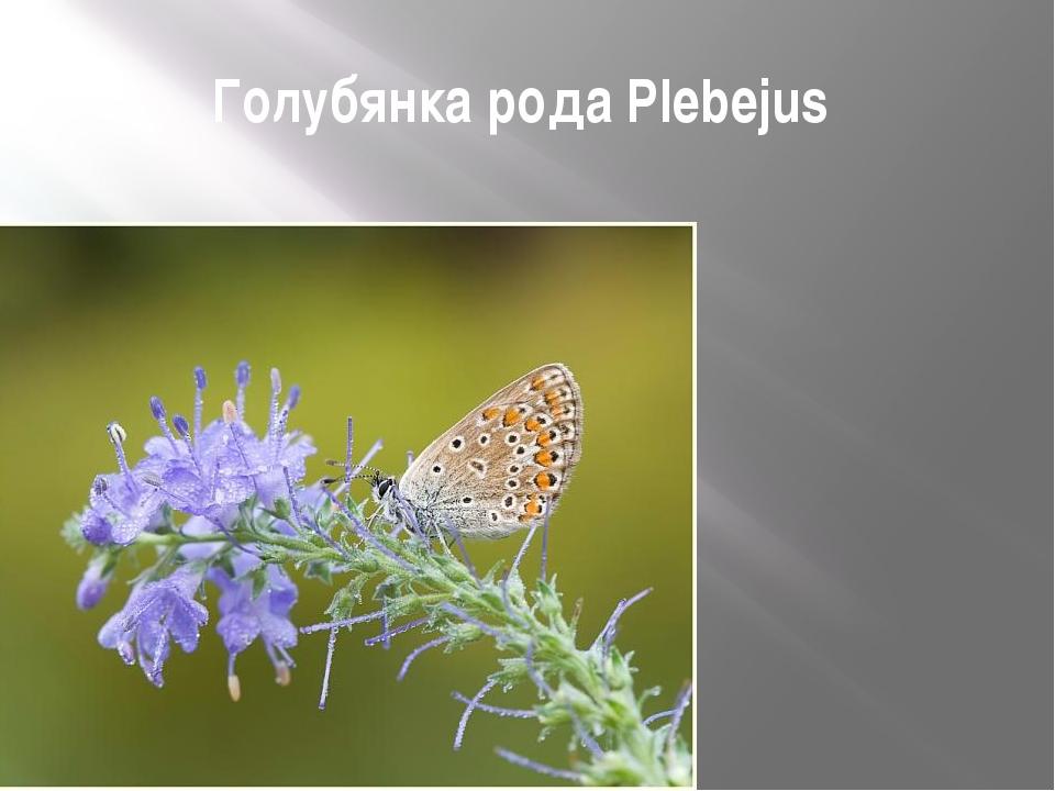 Голубянка рода Plebejus
