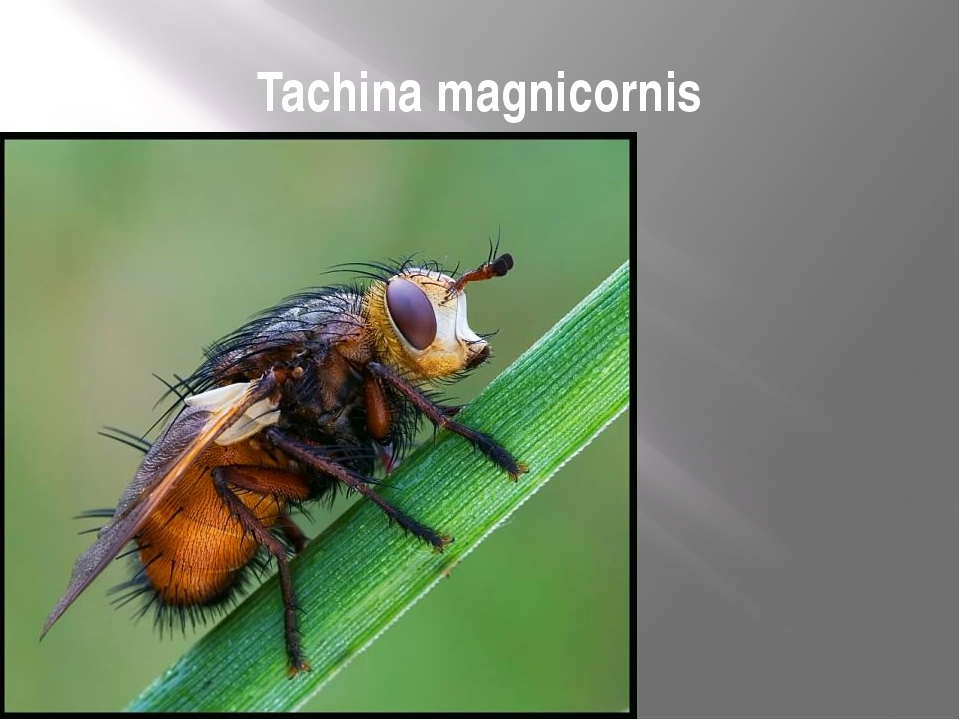 Tachina magnicornis