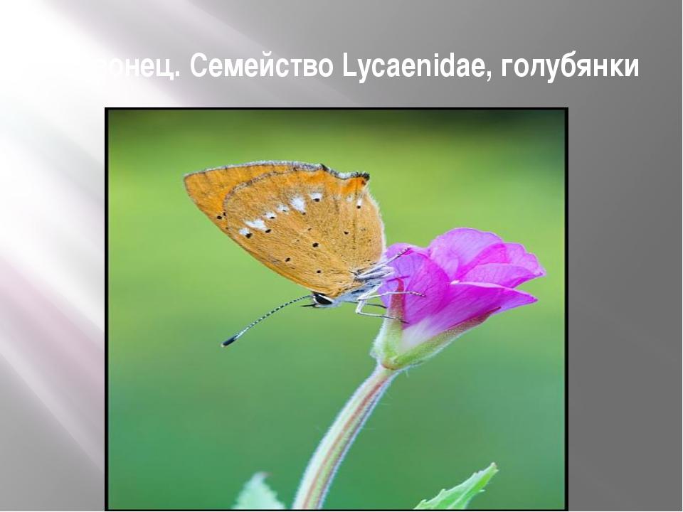 Червонец. Семейство Lycaenidae, голубянки