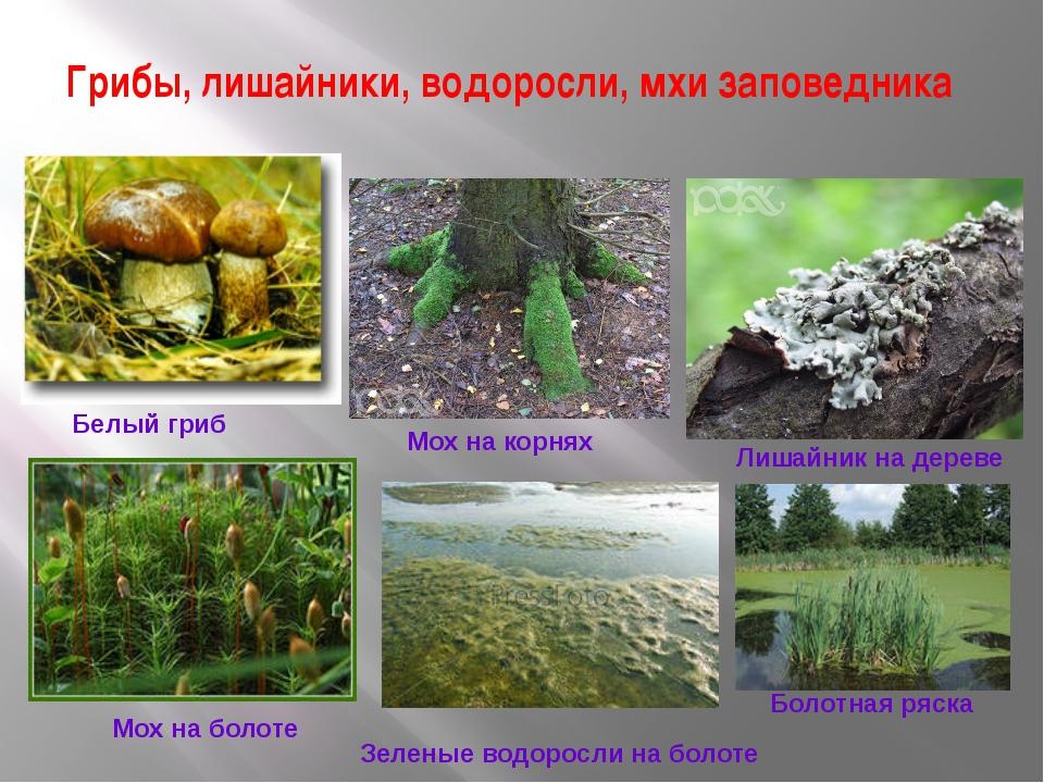 Грибы, лишайники, водоросли, мхи заповедника Белый гриб Мох на корнях Лишайни...