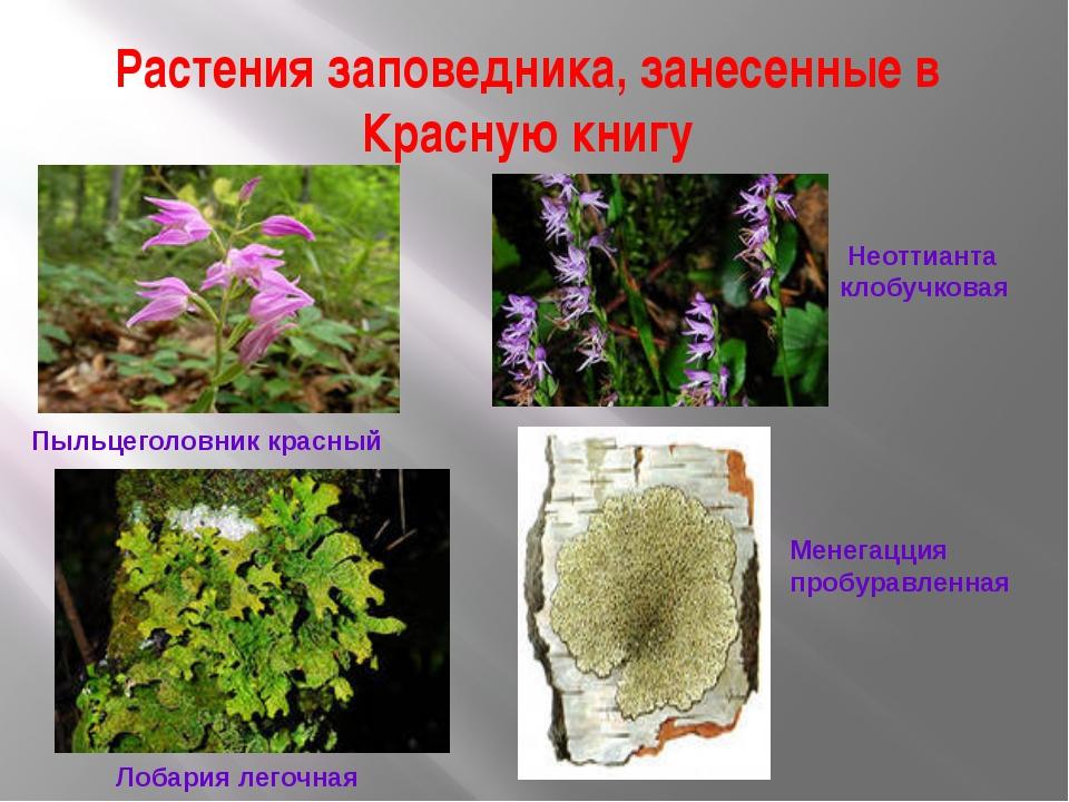 Растения заповедника, занесенные в Красную книгу Пыльцеголовник красный Неотт...