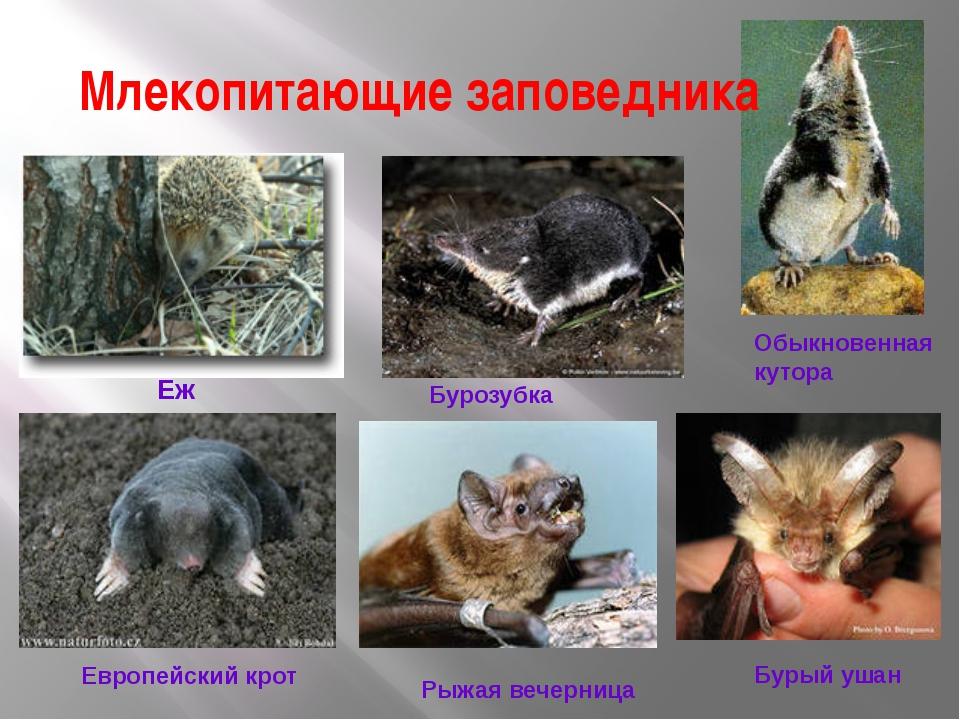 Млекопитающие заповедника  Еж Обыкновенная кутора Бурозубка Европейский крот...