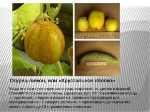 Огурец-лимон, или «Хрустальное яблоко» Когда эти странные округлые огурцы соз