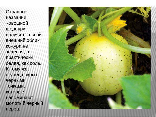 Странное название «овощной шедевр» получил за свой внешний облик: кожура не з...