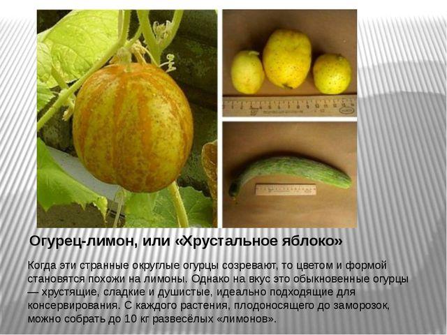 Огурец-лимон, или «Хрустальное яблоко» Когда эти странные округлые огурцы соз...