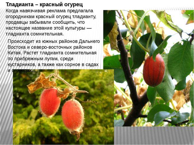 Тладианта – красный огурец Когда навязчивая реклама предлагала огородникам кр...