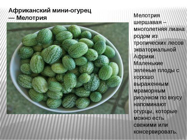 Африканский мини-огурец — Мелотрия Мелотрия шершавая – многолетняя лиана родо...