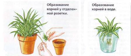 http://klumba-plus.ru/uploads/posts/2012-11/1353398944_razmnozhenie-hlorofituma.jpg