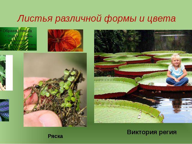 Листья различной формы и цвета Виктория регия Ряска