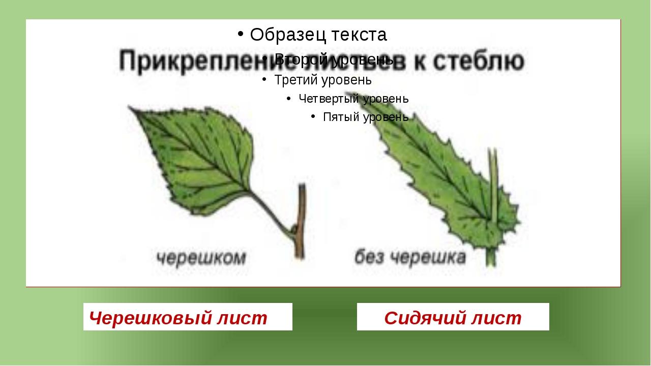 Черешковый лист Сидячий лист