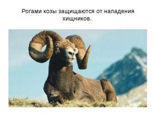 Рогами козы защищаются от нападения хищников.