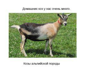Домашних коз у нас очень много. Козы альпийской породы