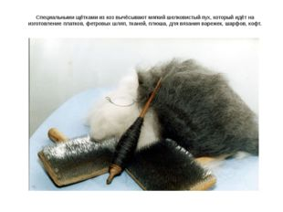 Специальными щётками из коз вычёсывают мягкий шелковистый пух, который идёт н