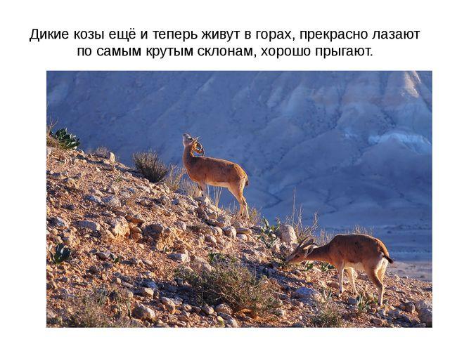 Дикие козы ещё и теперь живут в горах, прекрасно лазают по самым крутым склон...