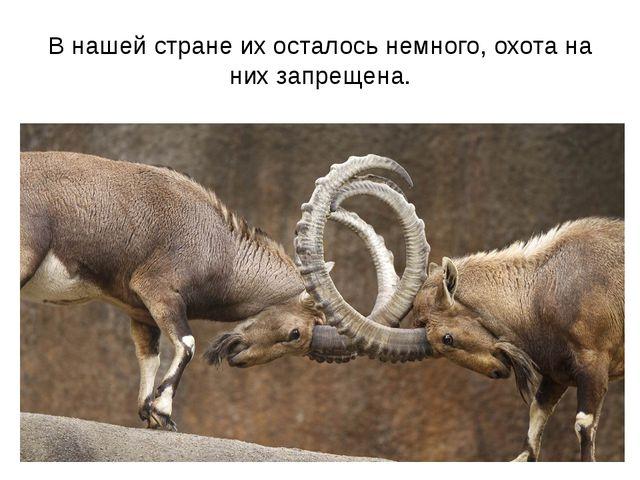 В нашей стране их осталось немного, охота на них запрещена.