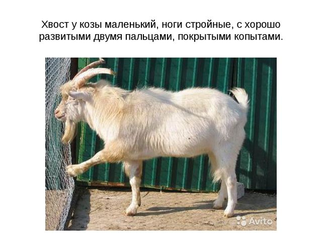 Хвост у козы маленький, ноги стройные, с хорошо развитыми двумя пальцами, пок...