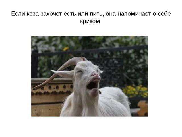 Если коза захочет есть или пить, она напоминает о себе криком