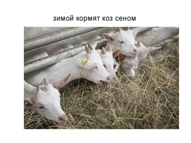зимой кормят коз сеном
