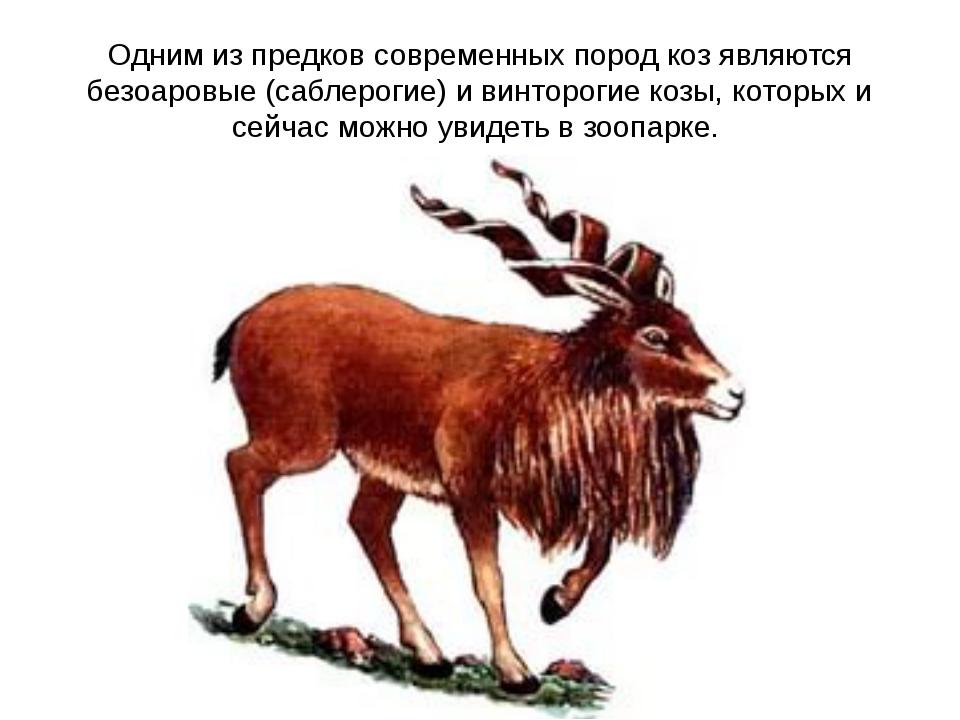 Одним из предков современных пород коз являются безоаровые (саблерогие) и вин...