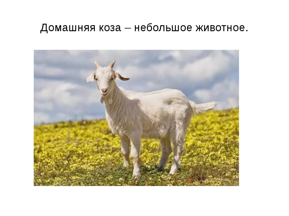 Домашняя коза – небольшое животное.