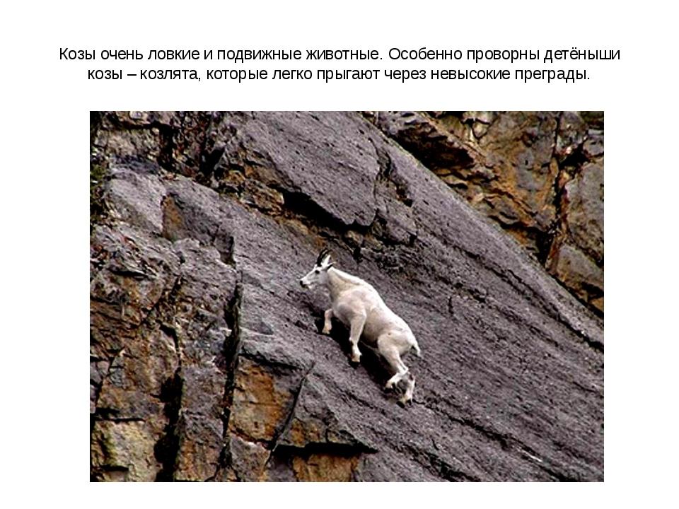 Козы очень ловкие и подвижные животные. Особенно проворны детёныши козы – коз...