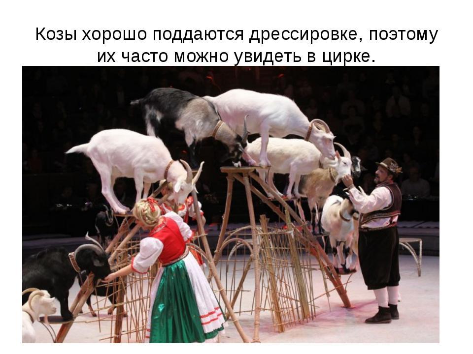 Козы хорошо поддаются дрессировке, поэтому их часто можно увидеть в цирке.