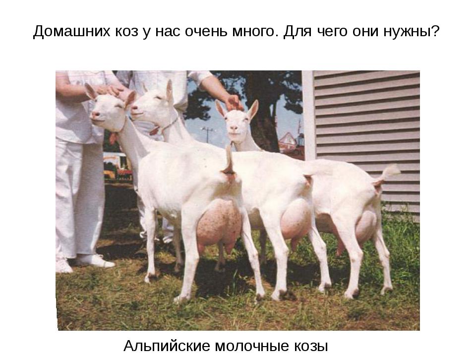 Домашних коз у нас очень много. Для чего они нужны? Альпийские молочные козы