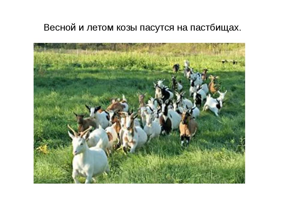 Весной и летом козы пасутся на пастбищах.