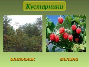 шиповник малина Кустарники