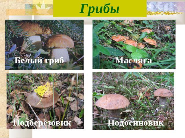 Грибы Белый гриб Подберёзовик Маслята Подосиновик
