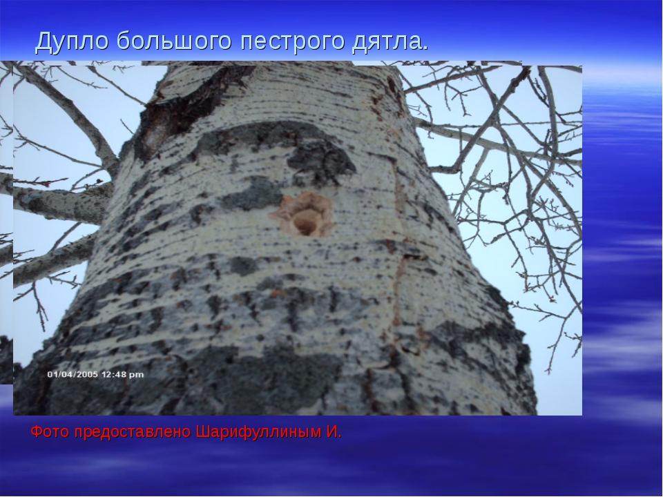 Дупло большого пестрого дятла. Фото предоставлено Шарифуллиным И.
