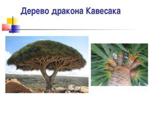 Дерево дракона Кавесака
